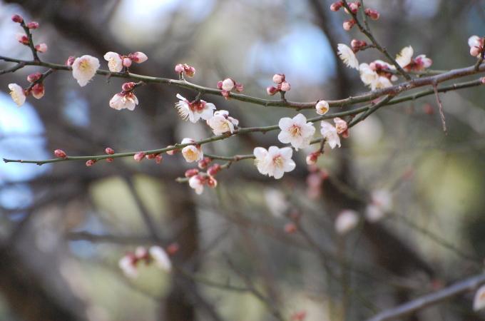 白梅 2015.2.20 県立明石公園