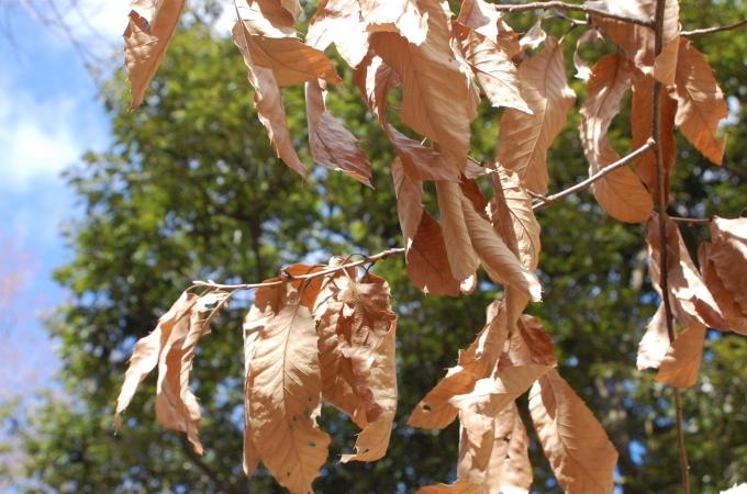 枯れたクヌギの葉
