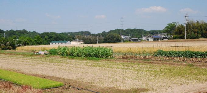 麦秋と水稲の苗