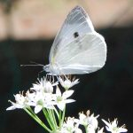 蝶はなぜ花にとまるのか
